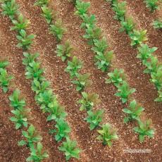 Plantas de remolacha azucarera 25 piezas - Miniatura 1:32 - Juweela 23386 ejemplo de diorama